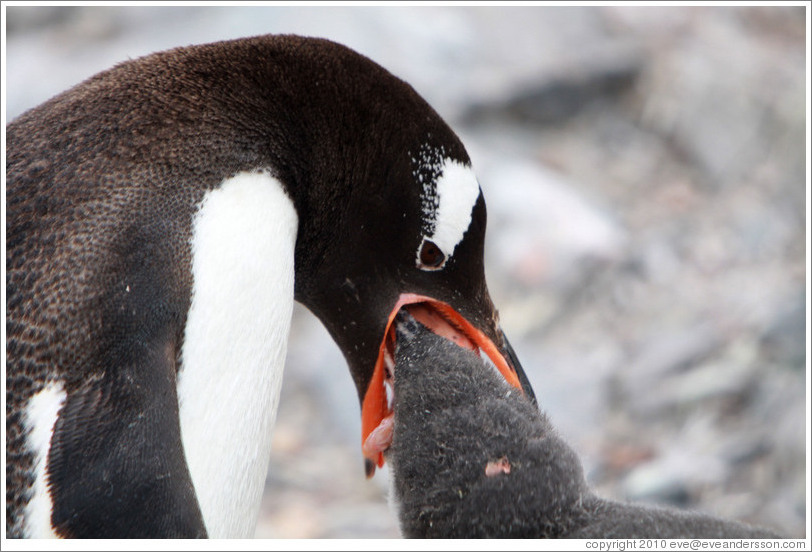 Gentoo Penguin feeding baby.  Some of the regurgitated krill that the baby is eating can be seen.