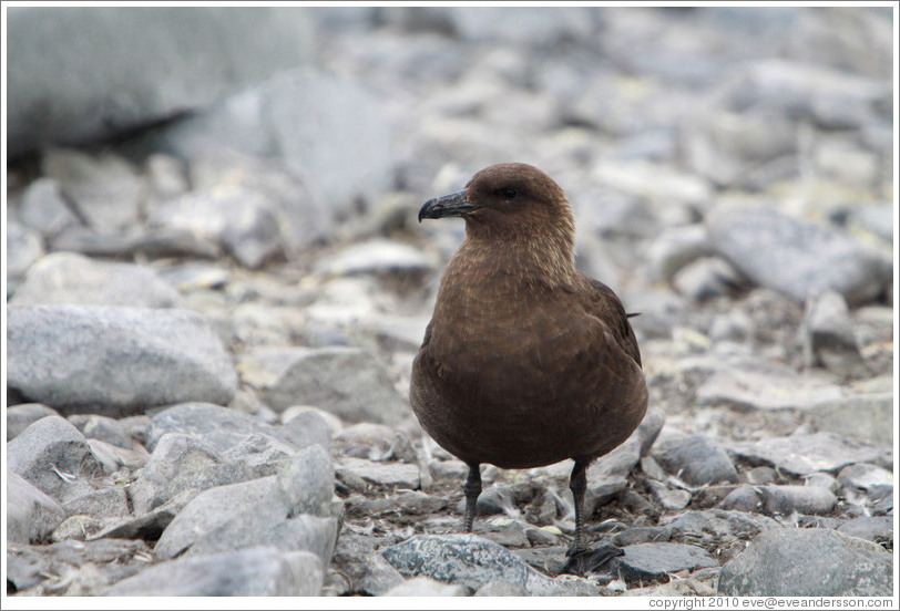 Brown skua.