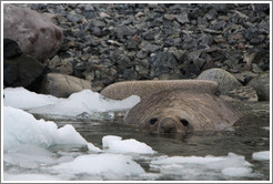 Elephant seal resting in the water.