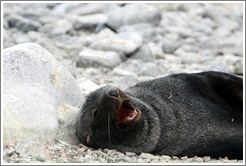 Fur seal yawning.
