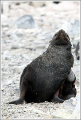 Fur seal scratching.