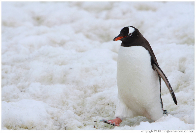 Gentoo Penguin walking in the snow.