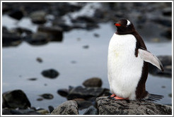 Gentoo Penguin at the water's edge.