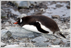 Gentoo Penguin resting on rocks.