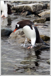Gentoo Penguin entering the water.
