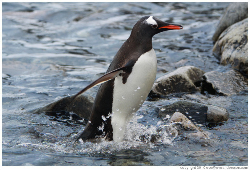 Gentoo Penguin exiting the water.