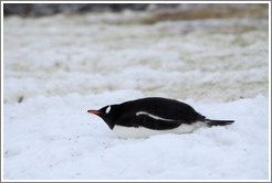 Gentoo Penguin resting in the snow.