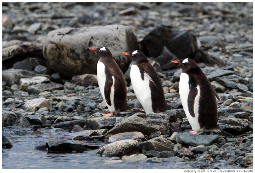 Three Gentoo Penguins at the water's edge.
