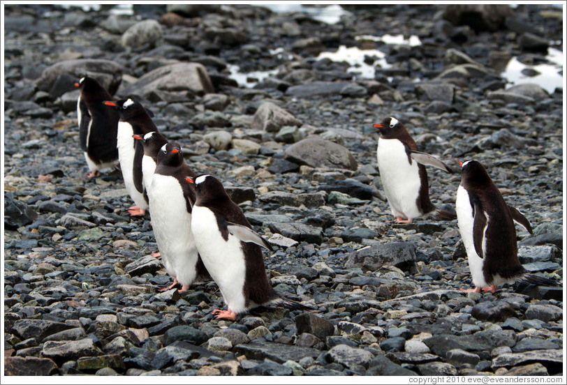 Gentoo Penguins lined up at the water's edge.