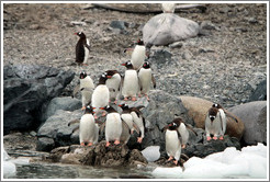 Gentoo Penguins at the water's edge.