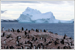 Gentoo Penguins with an iceberg behind.