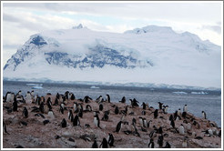 Gentoo Penguins with snowy mountains behind.