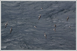 Storm petrels flying alongside the boat.
