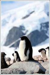 Ad�lie Penguin standing on a rock.