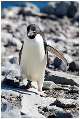 Ad�lie Penguin walking.