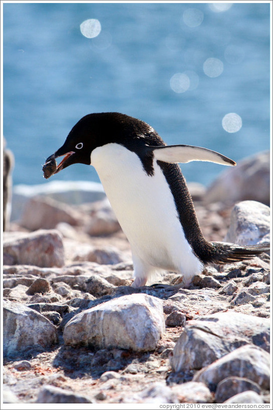 ad e penguin carrying rock for nest photo id 16258 fishisla