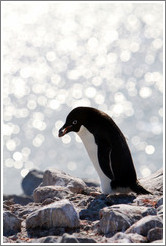 Ad�lie Penguin carrying rock for nest.