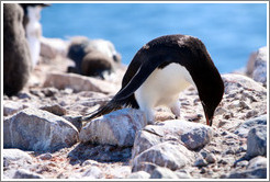 Ad�lie Penguin picking up rock for nest.