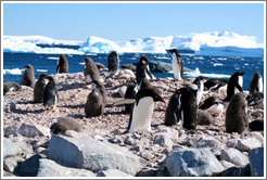 Ad�lie Penguins.