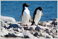 Two Ad�lie Penguins.