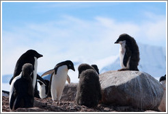 Ad�lie Penguins, with a molting youngster standing on a rock.