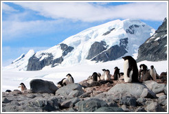 Ad�lie Penguins with snowy mountains behind.