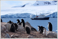 Ad�lie Penguins with the Polar Pioneer behind.