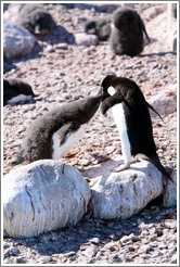 Parent Ad?e Penguin feeding young penguin.