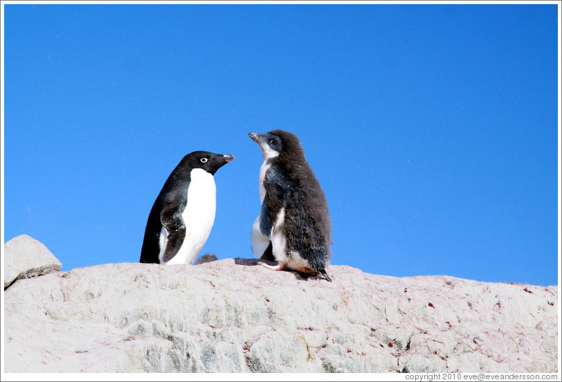 Adult and molting young Ad?e Penguins.