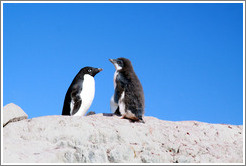Adult and molting young Ad�lie Penguins.