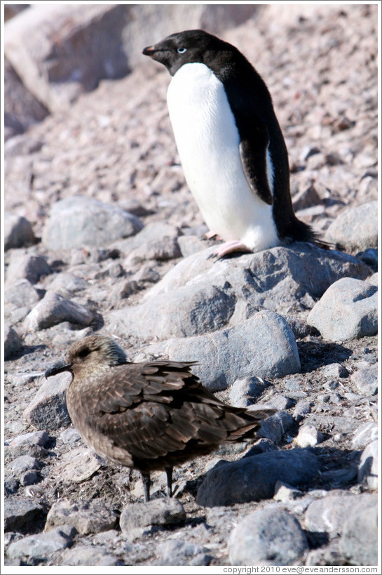 Ad?e Penguin and Brown Skua.