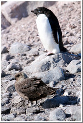 Ad�lie Penguin and Brown Skua.