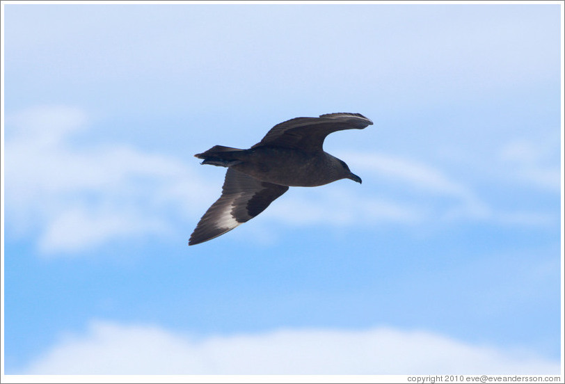 Brown Skua flying.