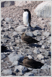 Ad�lie Penguin and two Brown Skuas.