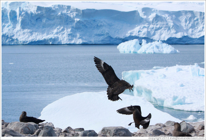Two Brown Skuas fighting.