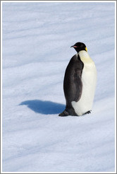 Young Emperor Penguin alone on an iceberg.