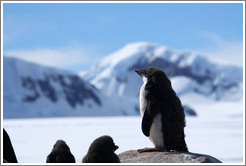 Young Ad�lie Penguin standing on a rock.