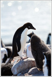 Parent and baby Ad�lie Penguins.