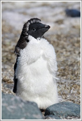 Young Ad�lie Penguin molting.