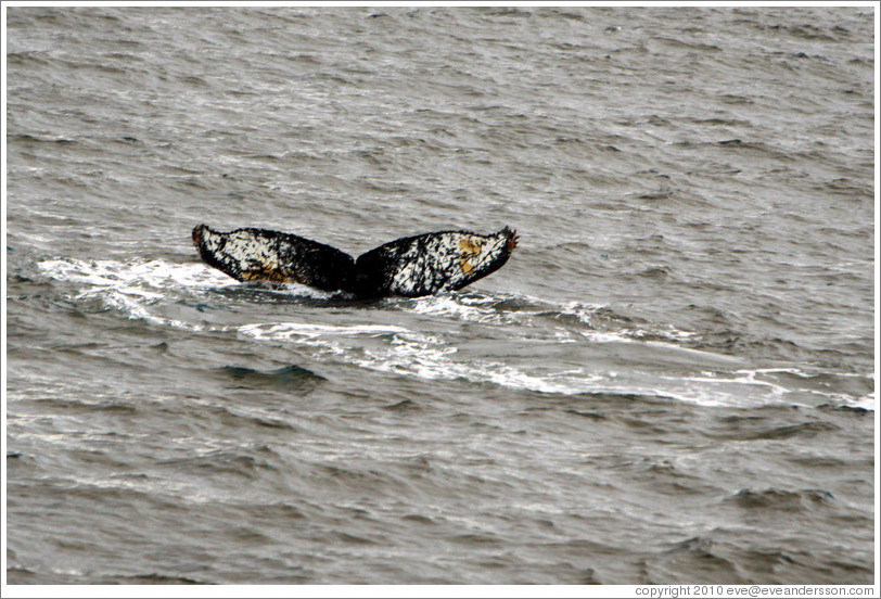 Tail of a Humpback Whale.