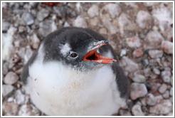 Baby Gentoo Penguin looking up at me and calling.