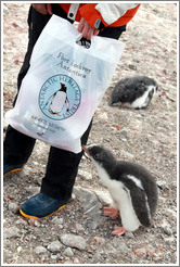 Baby Gentoo Penguin exploring a visitor's bag.
