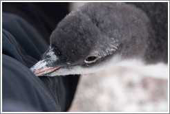 Baby Gentoo Penguin exploring my clothing.