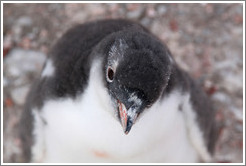 Baby Gentoo Penguin looking up at me.