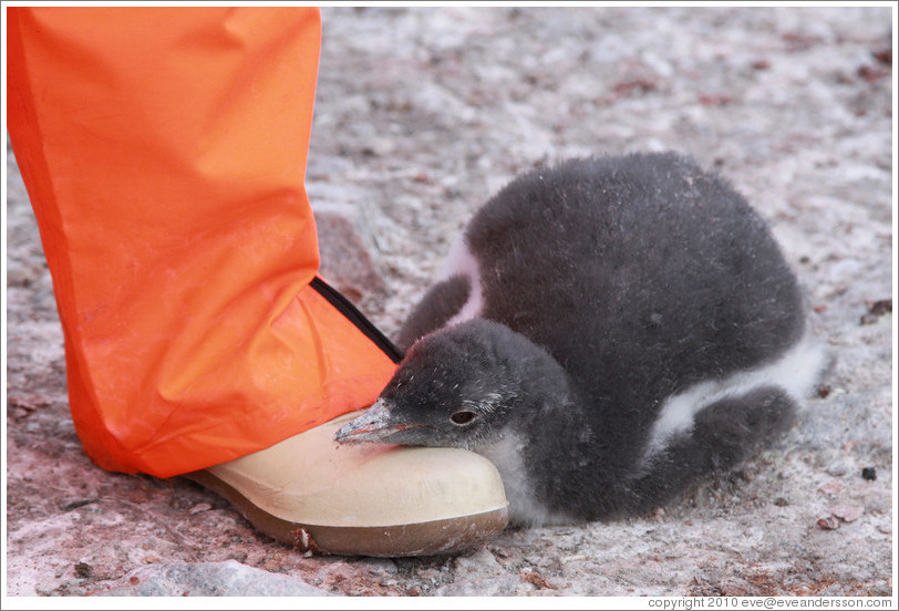 Baby Gentoo Penguin resting its head on Tom's foot.
