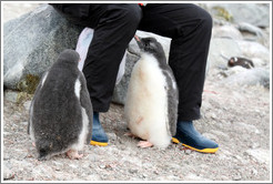 Baby Gentoo Penguins inspecting visitor.