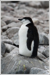 Chinstrap Penguin sitting on a rock.