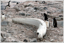 Whale bone and Gentoo Penguins.