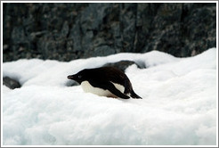 Ad�lie Penguin resting in the snow.