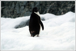 Ad�lie Penguin standing in the snow.